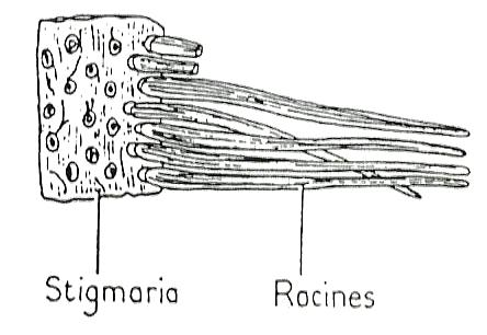 lepidodendron stigmaria