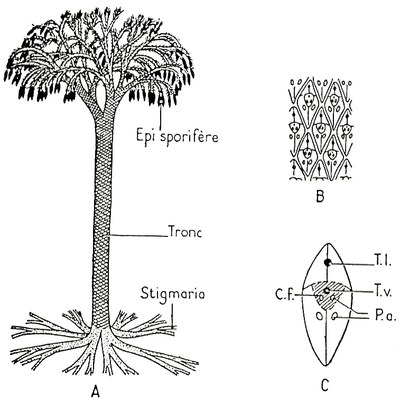 lepidodendron tronc2